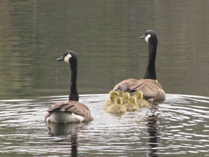 Canada geese and goslings photo by Paul Lauenstein