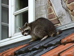 Raccoon on a house roof