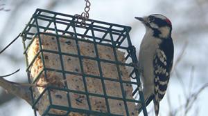 Woodpecker on a suet feeder