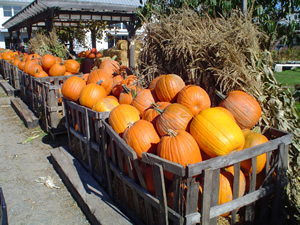 Pumpkins at Ward's Berry Farm