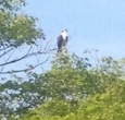Osprey perched in a tree in Sharon