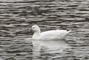 Ross's Goose photo by Josh Simons