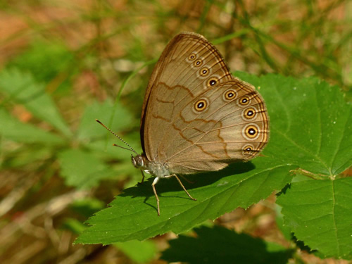 Appalachian Brown Butterfly