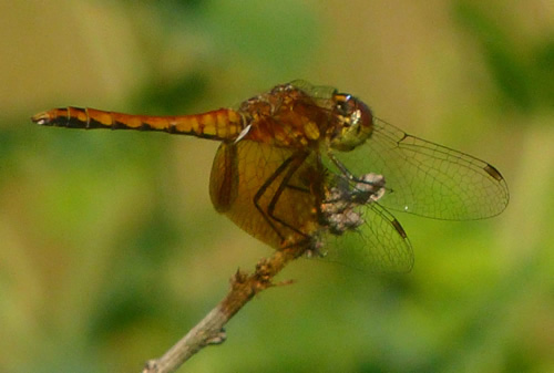 Band-winged Meadowhawk Dragonfly