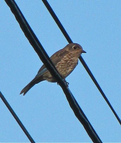 Bluebird (Immature)