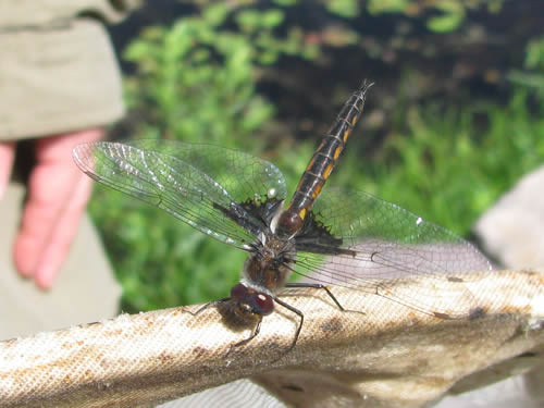 Common Baskettail Dragonfly