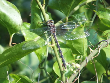 Delta-Spotted Spiketail Dragonfly