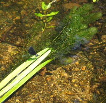 Ebony Jewelwing Dragonfly