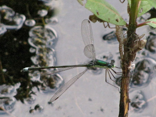 Elegant Spreadwing Damselfly