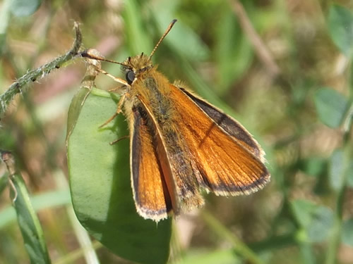 European Skipper Butterfly
