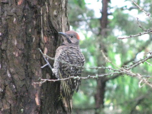 Flicker Fledgling