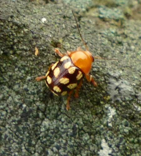 Fourteen-Spotted Leaf Beetle