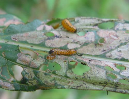 Galerucella Beetle Larva