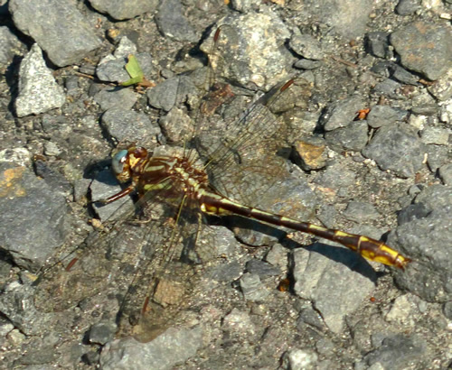 Lancet Clubtail Dragonfly (Male)