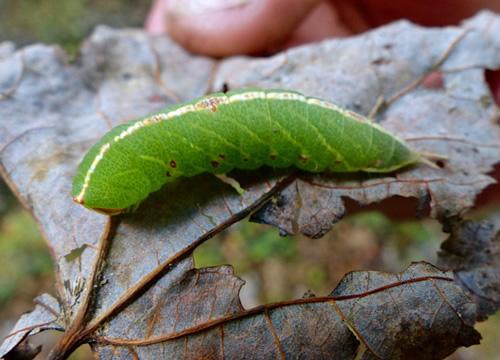 Mottled Prominent Moth (Caterpillar)
