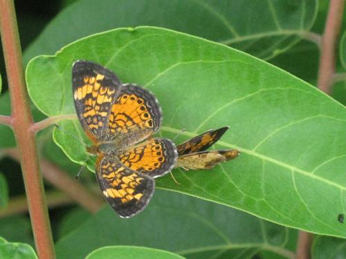Pearl Crescent Butterflies