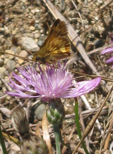 Peck's Skipper Butterfly