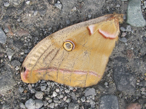 Polyphemus Moth (Wing Only)