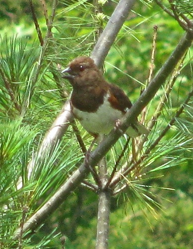 Rufous-Sided Towhee (female)