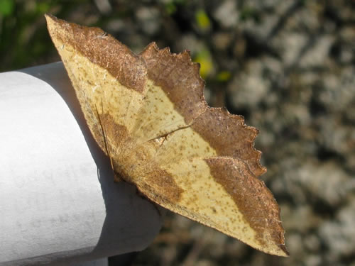 Saw-Wing Moth