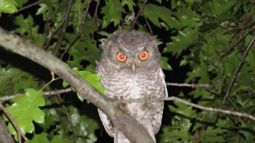 Screech Owl (Fledgling)