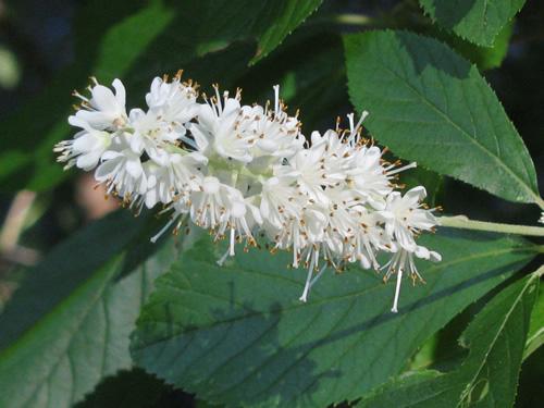 Sweet Pepperbush (Summersweet)
