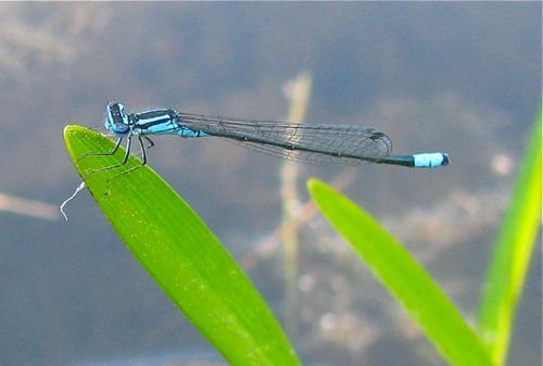 Turquoise Bluet
