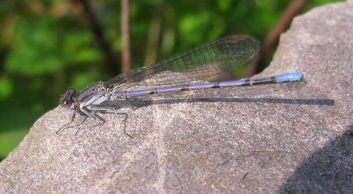 Variable Dancer Damselfly