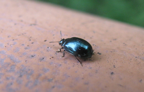 Willow Leaf Beetle
