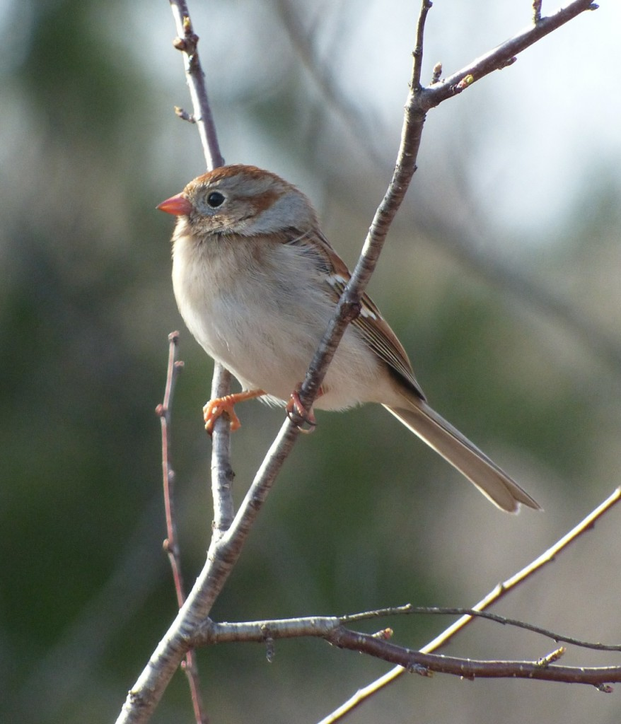 FieldSparrow