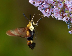 Snowberry clearwing moth-2