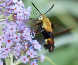 Snowberry clearwing moth-3
