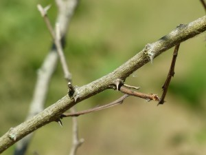 Black locust thorns