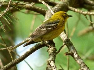 Pine warbler5