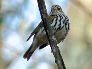 Ovenbird8