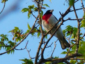 rose-breasted grosbeak-2