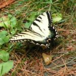 eastern tiger swallowtail 7-31-2016
